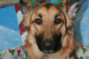 Christmas german-shepherd-